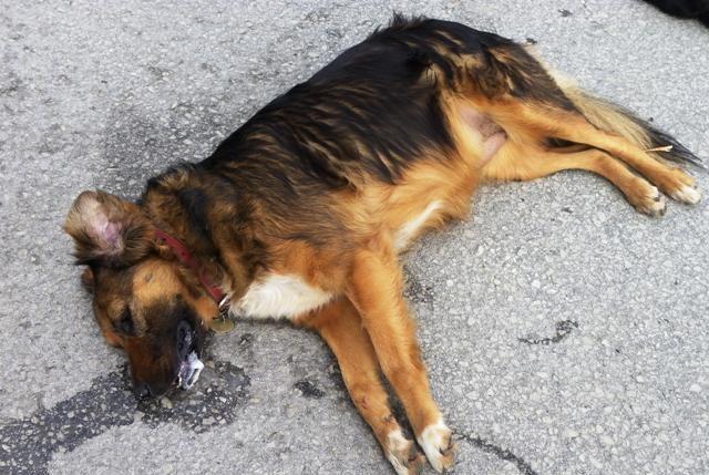 Σκυλί φόλα